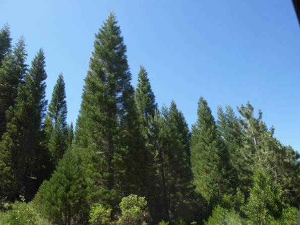 Giant Sequoia Plantation