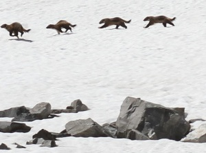 Stop-Action of a wolverine in the Beaverhead-Deerlodge national Forest.  Photo by Chad Harder.
