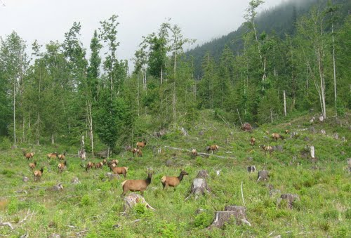 elk in clearcut