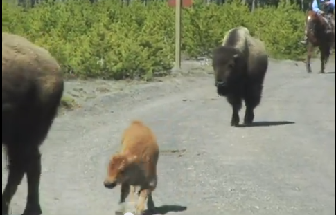 This baby bison with a broken leg gets no relief or sympathy from the tax-payer funded helicopter hazing operation in Yellowstone National Park and the Gallatin National Forest.