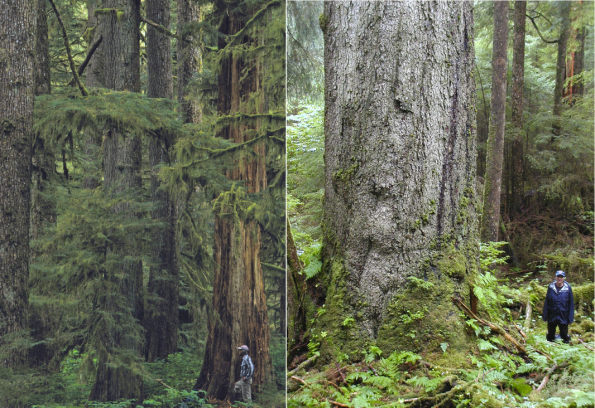 Increasingly rare volume class 7 old growth on the Tongass National Forest. Note that cedar species can be 1,000+ years old. Photo by Alaska Audubon.