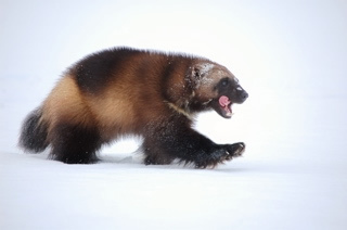 The USFWS takes another step toward finalizing a wolverine recovery effort. Photo courtesy USFWS/Steve Kroschel.